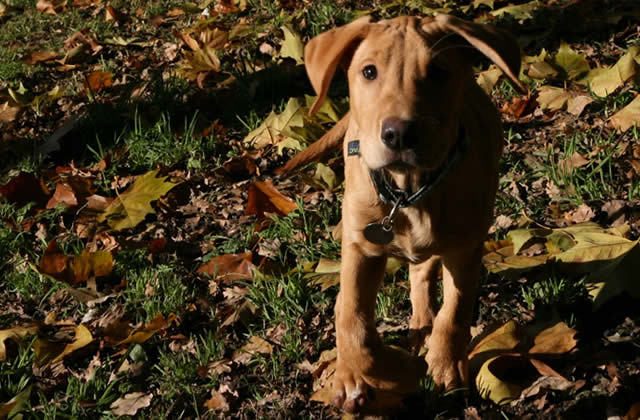famille-accueil-chien-guide-aveugle